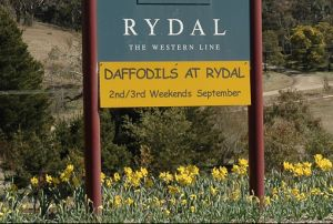 Daffodils at Rydal sign in field of daffoldils